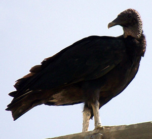 Vulture Meanings and Nonconformity