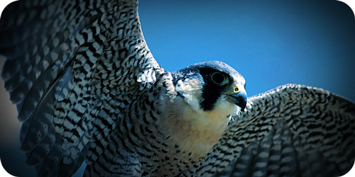 Peregrine Parable And Meaningful Falcon Symbolism Symbolic