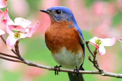 bluebird meanings