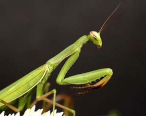 good luck bugs praying mantis