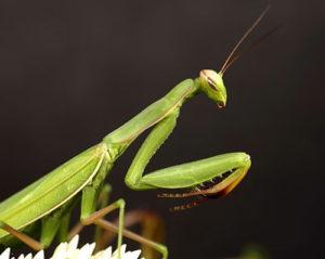 good luck bugs praying mantis