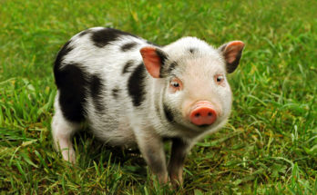 symbolic meaning of pigs