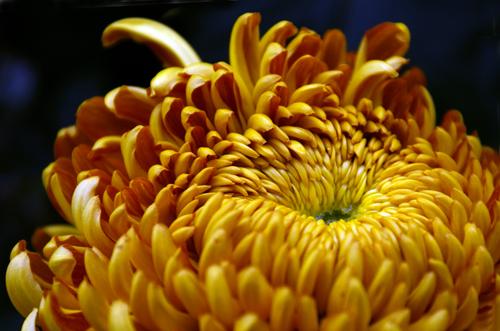 Chrysanthemum Meaning