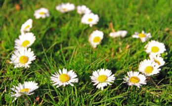 Daisy Flower Meanings Love Symbols