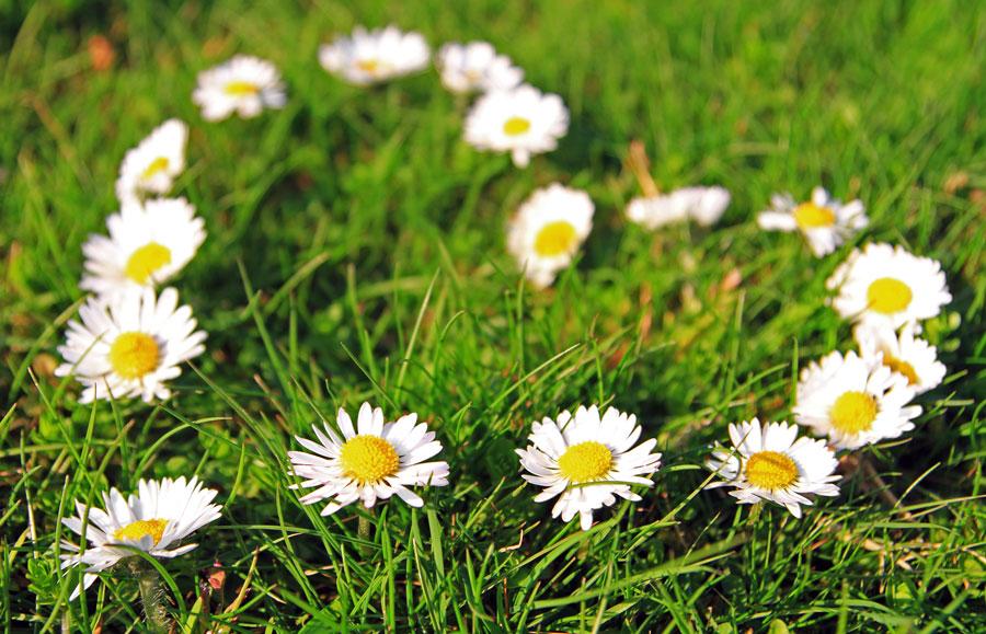 Daisy Flower Meanings Love Symbols