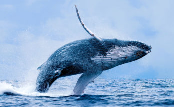 Whale Totem Meanings and Messages
